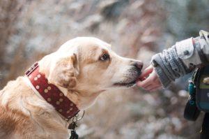 Kurkuma für Hunde: Top 5 Vorteile, einschließlich für Krebs und Arthritis
